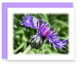 Still Garden, Garden Blooms Greeting Card Assorted Stokes Aster Bloom