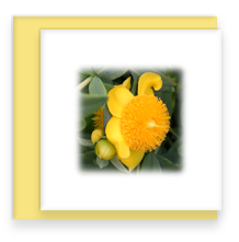 Mini Greeting Card with Envelope St Johns Wort Flower