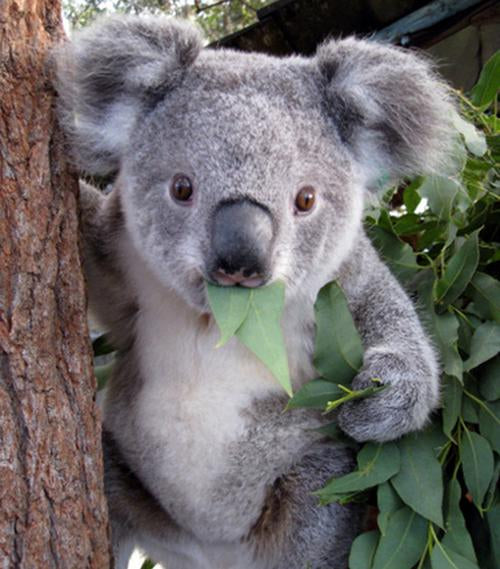 SAVE THE KOALAS