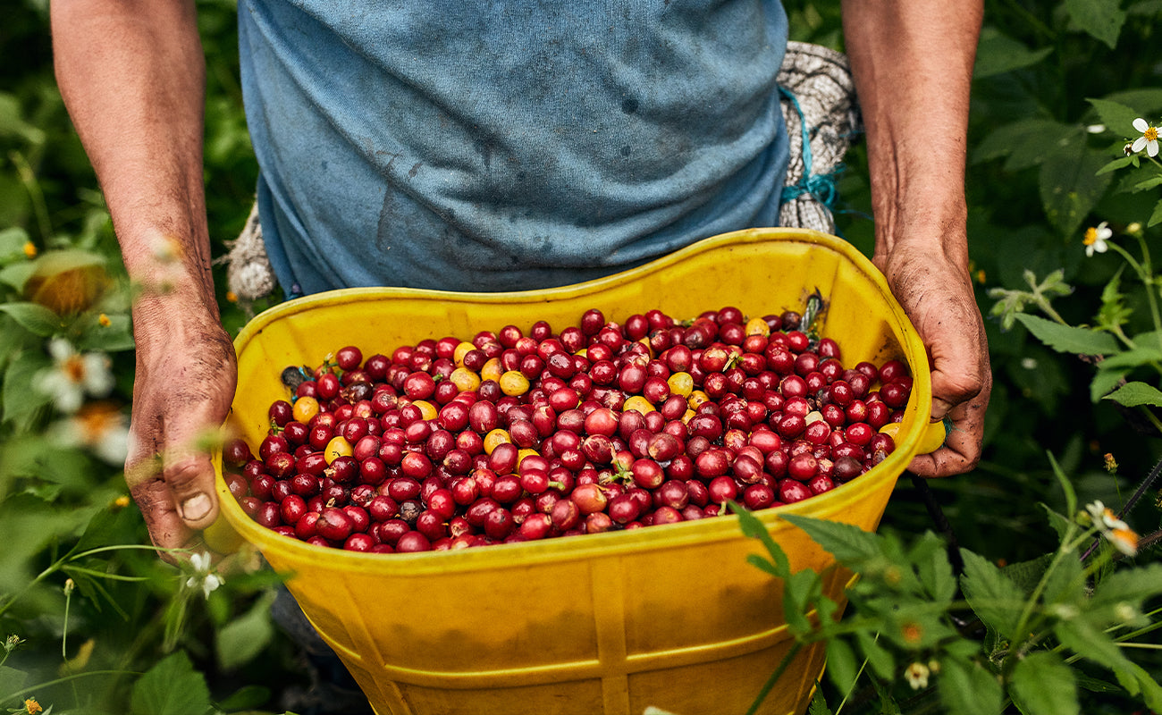 coffee cherry ready for processing