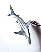 Ningaloo Reef Shark Drawing White Background