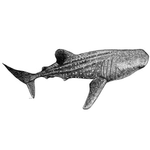 Fine art drawing black and white whale shark by elk draws