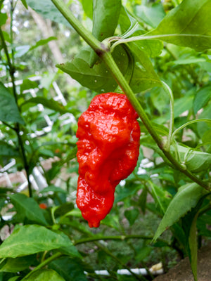 Red Ghost Pepper - [10, 20, 30 Seeds]