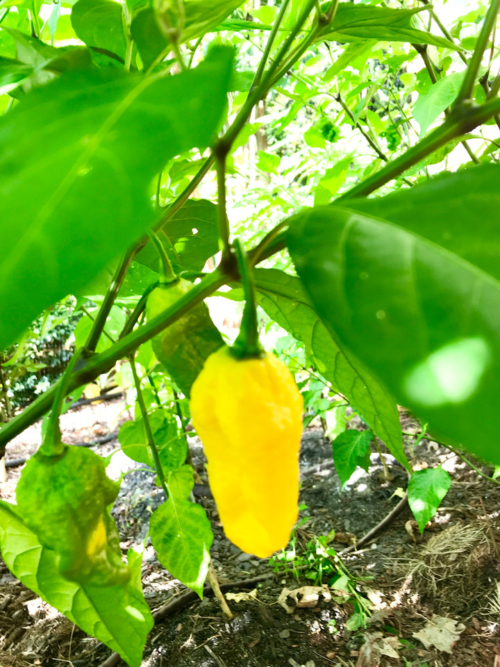 Yellow Ghost Pepper - [10, 20, 30 Seeds]