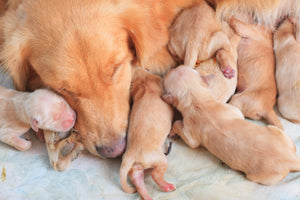 First Litter: Tips on How to Help Your Dog Give Birth