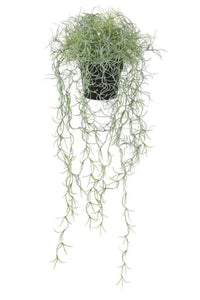 Spanish Moss Tillandsia Plant in Pot
