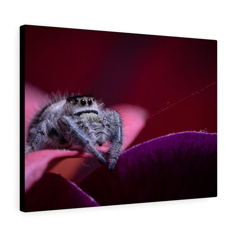 Canvas Gallery Wrap Featuring P. regius Jumping Spider