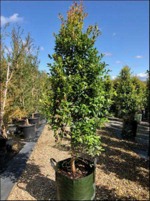 Syzygium Australe 'Northern Select'