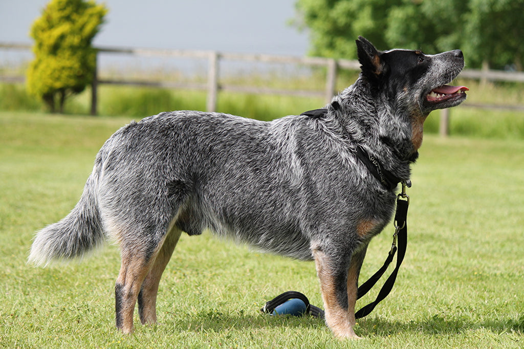 Australian cattle dog the 10th smartest dog in the world