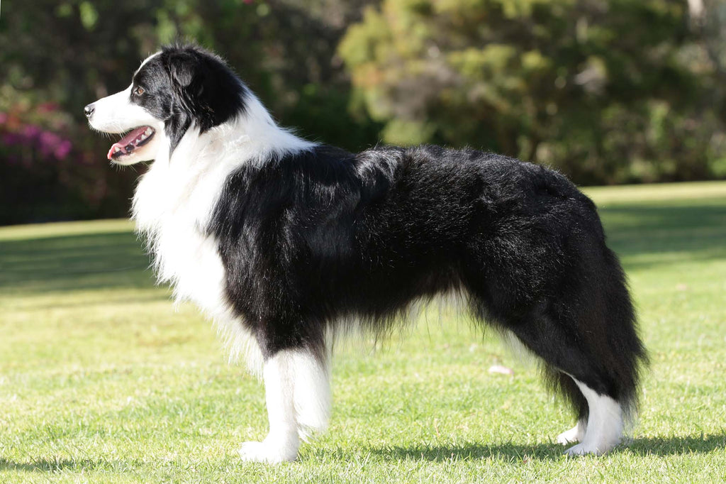 Border collies are the smartest dog in the world