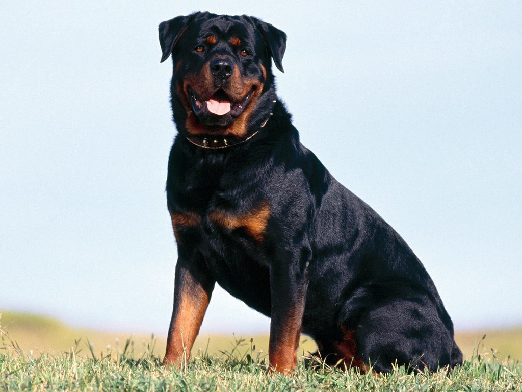 Rottweilers are the worlds 9th smartest dog breed