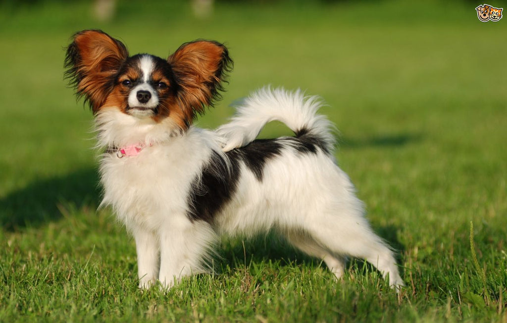 Papillon dog is the 8th smartest dog in the world