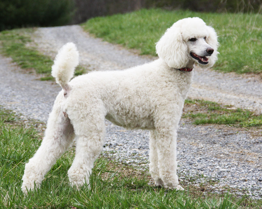 white poodle second smartest dog in the world