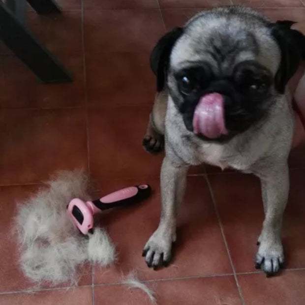 pug next to fine fur comb after being brushed