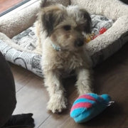 Dog playing with blue slipper that squeaks for dogs