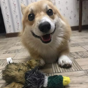 Corgi smiling playing with squeaky duck dog plush toy