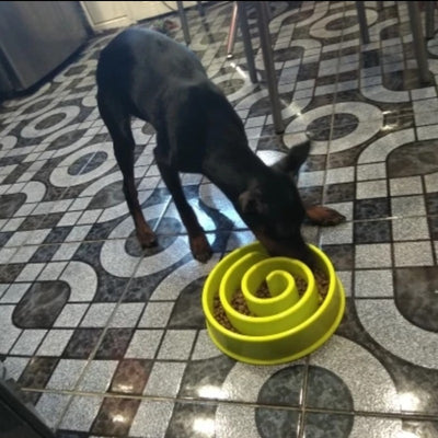 doberman eating from green slow feeder bowl