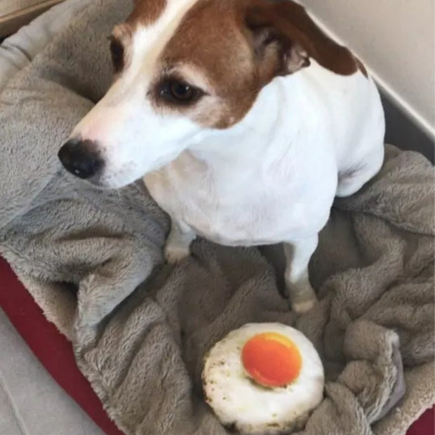 jack russell dog playing with fake egg dog toy