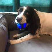 white dog with light up blue dog ball toy in mouth