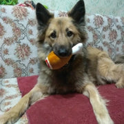 Dog with squeaky drumstick toy in his mouth