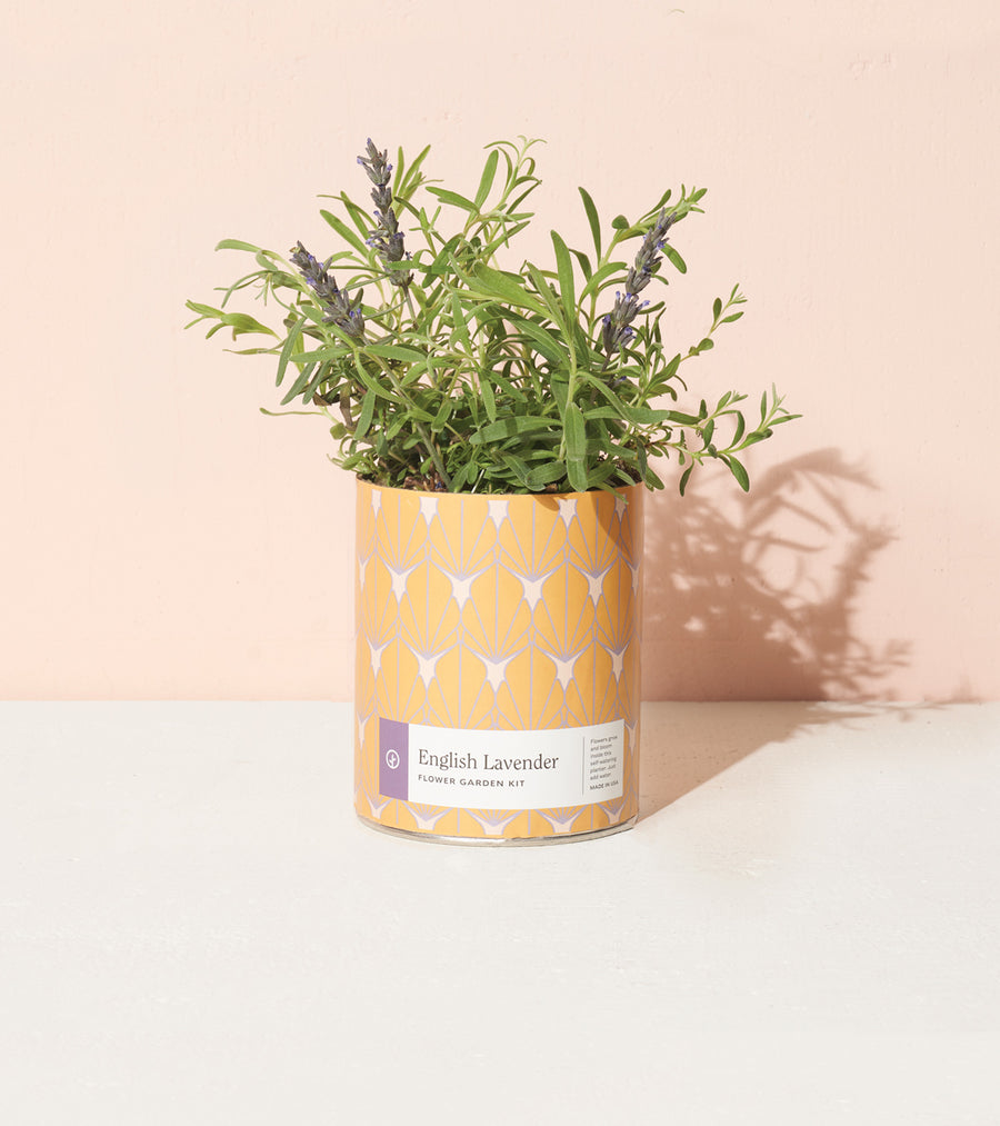 Grow Kit: English Lavender, Waxed Planter