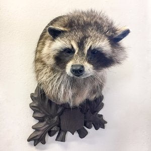 Raccoon Head Mount Taxidermy Class: July 28, 2018 at 12:00PM