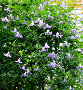 Clematis Betty Corning