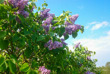 Load image into Gallery viewer, Syringa vulgaris 'Président Grévy'