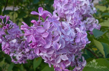 Load image into Gallery viewer, Syringa hyacinthiflora 'Buffon'