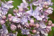 Load image into Gallery viewer, Syringa vulgaris 'Dobeles Sapnotajs'