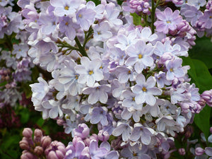 Syringa vulgaris 'Dwight D. Eisenhower'