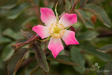 Load image into Gallery viewer, Rosa glauca