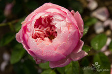 Load image into Gallery viewer, The Alnwick Rose
