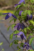 Load image into Gallery viewer, Clematis Pamela Jackman