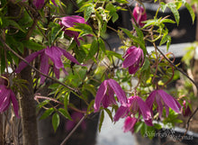 Load image into Gallery viewer, Clematis 'Constance'