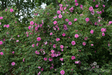 Load image into Gallery viewer, Rosa californica 'Plena'