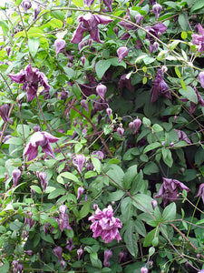 Clematis Mary Rose