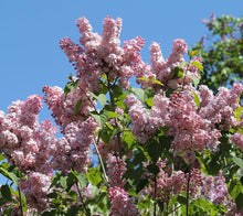 Load image into Gallery viewer, Syringa vulgaris 'Mulatka'
