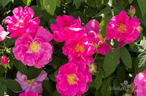 Rosa gallica 'Officinalis'