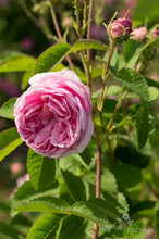 Load image into Gallery viewer, Rosa centifolia 'Major'