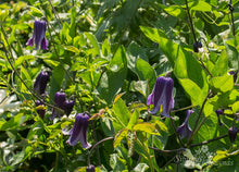 Load image into Gallery viewer, Clematis Rooguchi