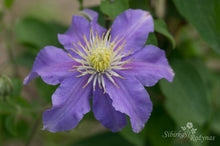 Load image into Gallery viewer, Clematis 'Justa'