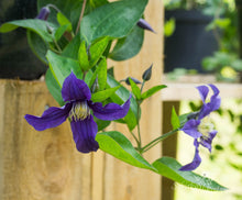 Load image into Gallery viewer, Clematis 'Blue Sensation'