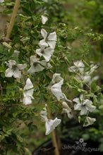 Load image into Gallery viewer, Clematis 'Alba Luxurians'