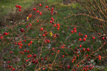 Load image into Gallery viewer, Rosa virginiana