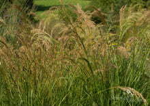 Load image into Gallery viewer, Achnatherum calamagrostis