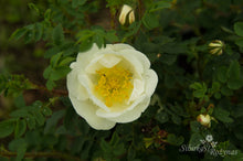 "Load image into Gallery viewer, Rosa spinosissima ""Double Cream"""