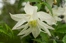 Load image into Gallery viewer, Clematis 'Albina Plena'