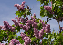 Load image into Gallery viewer, Syringa vulgaris 'Pavlinka'
