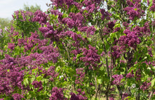 Load image into Gallery viewer, Syringa vulgaris 'Etna'